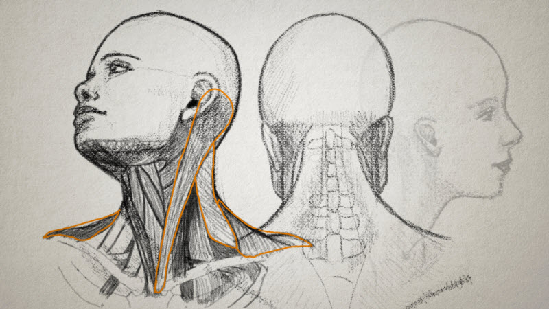 drawings of the human neck, head, and face
